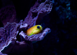 FotoHouse Lounge - Yellow Midas Blenny